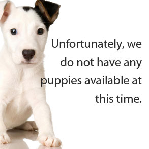 No Puppies Available