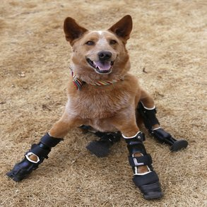 Prosthetic Paws Give Naki'o a New Leash on Life